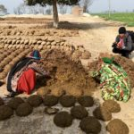 Filming women forming cow dung discs to burn in open fire pits as the primary cooking fuel in this village. Punjab, India.